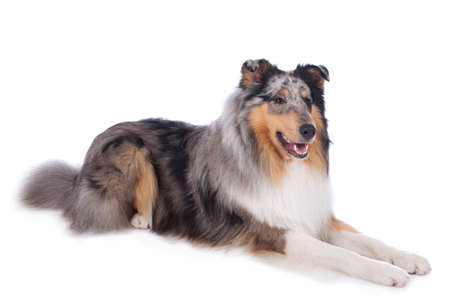 Cute collie dog lying isolated on white background Reklamní fotografie