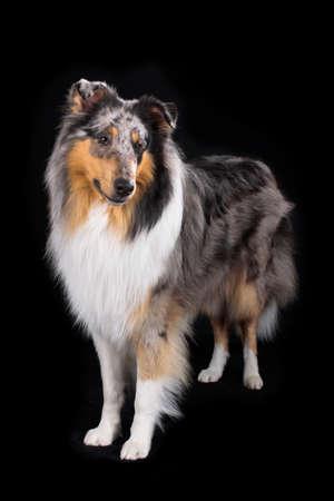 Bluemerle collie dog standing on black background Reklamní fotografie