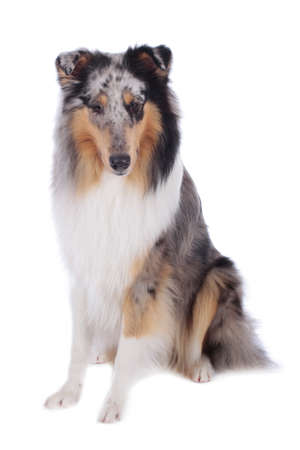 Collie bluemerle sitting on white background isolated looking at camera