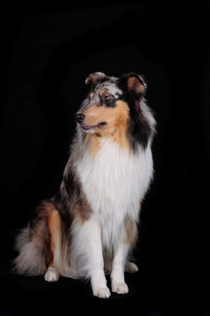 Collie bluemerle sitting on blackbackground isolated looking to the side