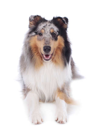 Cute collie dog lying isolated on white background from the front