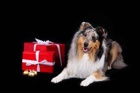 Collie dog lying on black background with red parcel Reklamní fotografie