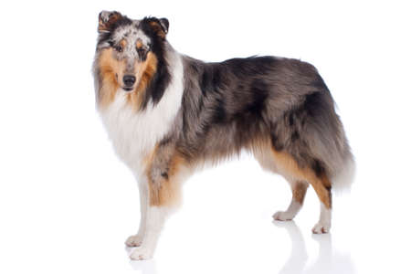 Cute collie dog standing isolated on white background from the side looking at camera