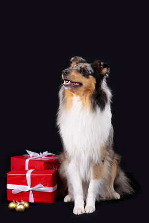 Collie dog on black background with red parcel