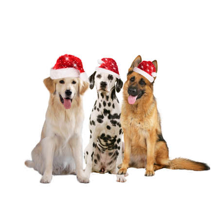 Group of 3 different pedigree dogs with santa hats isolated