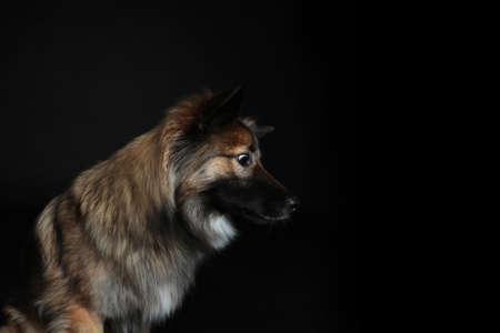 Wolfspitz looks in profile on black background