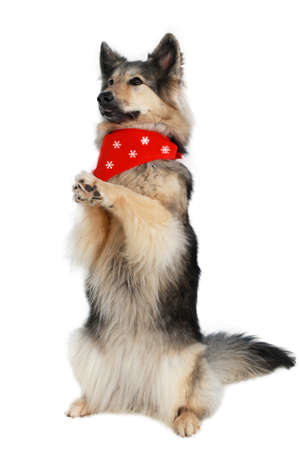 Cute shepherd with red scarf sits up and begs Imagens