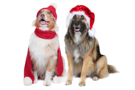 Australian shepherd and wolfspitz mix with christmas hats