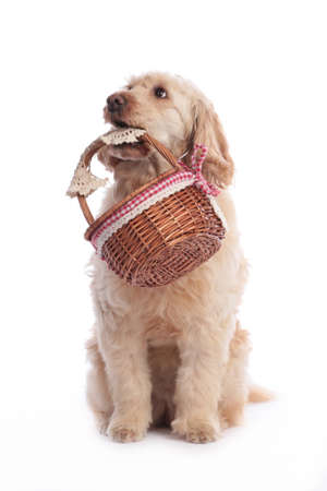 Cute blond golden medium doodle dog with basket isolated