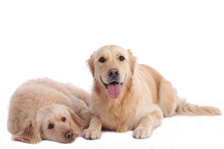 Golden doodle and golden retriever together lying on white background