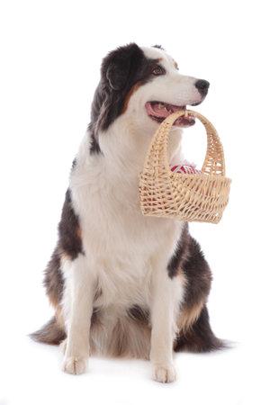 dog carriying a basket isolated on white Stock Photo