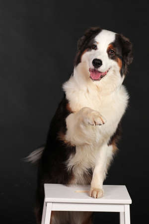 Dog sitting on chair and lifting paw in front of black background