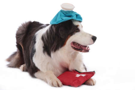 Australian shepherd with ice pack and first aid kit lying isolated on white