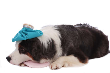 Australian shepherd carrying an ice pack on his head lying on a bottle with cold water