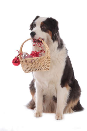 Australian shepherd dog carrying a little basket with christmas items isolated on white