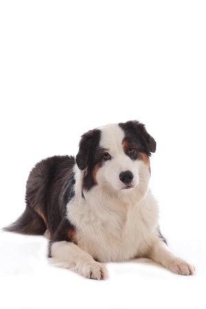 Australian shepherd dog lying on white background looking at camera Stock Photo