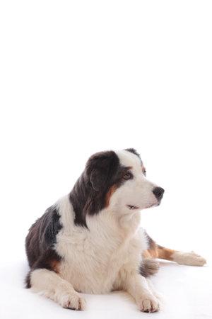 Australian shepherd dog lying on white background looking sideways