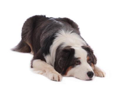 Australian shepherd dog lying on white background with head down Stock Photo