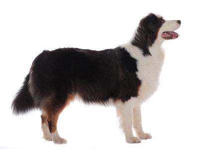 Australian shepherd dog standing sideways isolated on white background