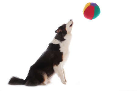 dog plays with ball in front of white background Stock Photo