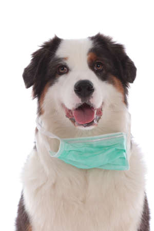 Australian shepherd dog with face mask under the mouth isolated