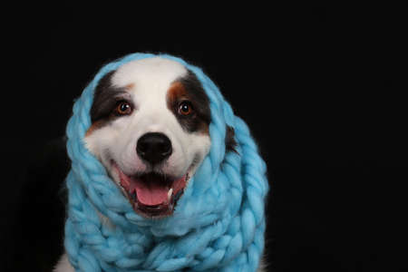 Cute dog with light blue scarf around its head in front of black background