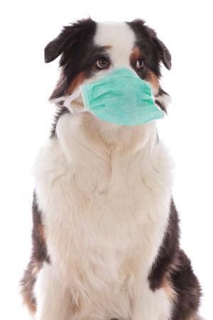 Australian shepherd dog wearing a face mask isolated on white