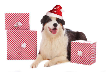 Australian shepherd with santa hat and gifts isolated on white Stock Photo