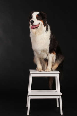 Dog sitting on chair and stays in front of black background Stock Photo