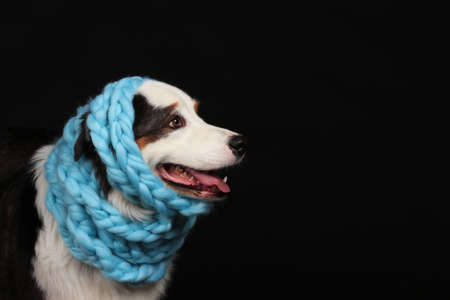 Cute dog with light blue scarf around its head in front of black background with copy space Stock Photo