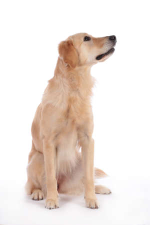 Cute dog sitting on white background looking laterally