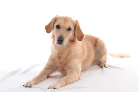 Golden retriever lying on white blanket looking at camera Stock Photo