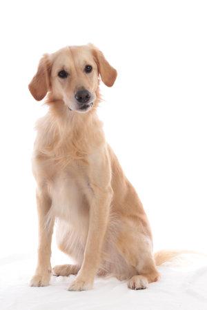 Cute golden retriever dog sitting on white background isolated on white