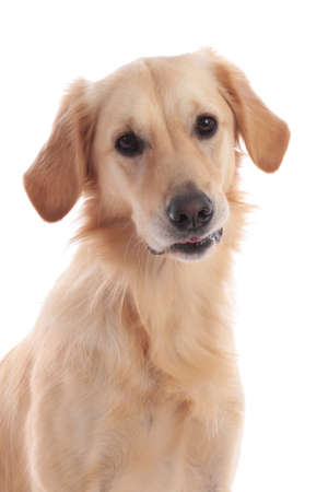 Cute golden retriever dog looking at camera isolated on white Stock Photo