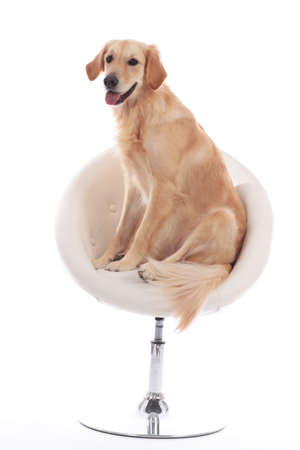 Cute golden dog retriever sitting on a white armchair isolated on white