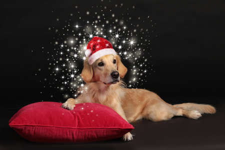 Cute golden retriever dog lying on a red pillowon black background and looking at camera with shiny stars