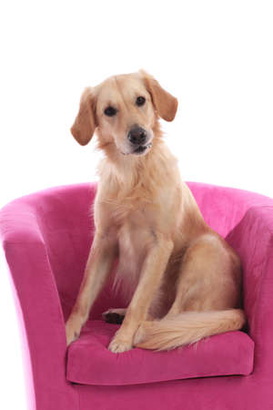 Cute golden retriever dog sitting on a pink armchai isolated on white