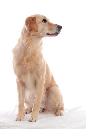 Cute dog sitting straight on white background looking sideways Stock Photo