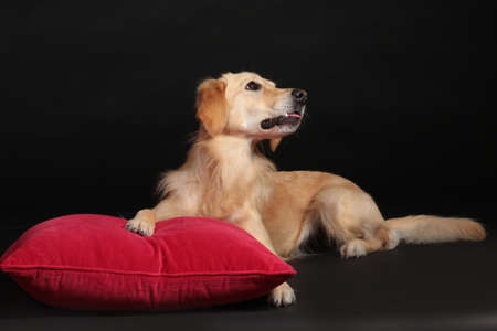 Cute golden retriever dog lying on a red pillow on black background looking sideways