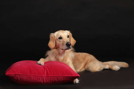 Cute golden retriever dog lying on a red pillow on black background looking straight Stock Photo