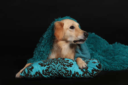 Cute golden retriver lying on a turquoise pillow under a green blanket on black background looking sideways