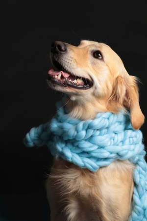 Golden retriever dog with a light blue scarf in front of black background