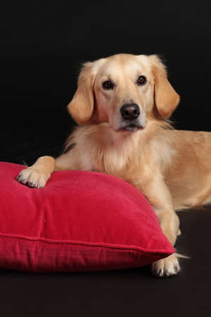 Cute golden retriever dog lying on a red pillow on black background and looking at camera Stock Photo