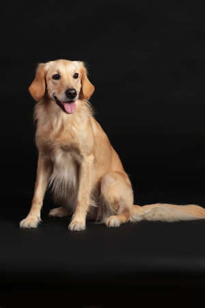 Golden retriever female sitting on a black background and looking at camera