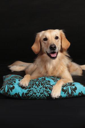 Cute golden retriever lying on a light blue pillow looking at camera
