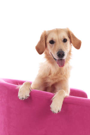 Face of a golden dog retriever sitting on a pink armchair