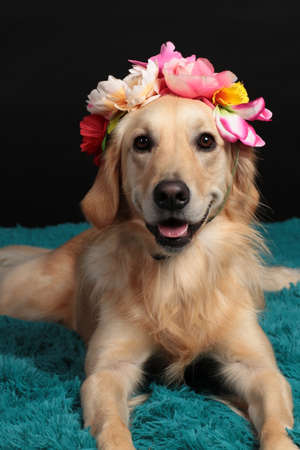 Golden retriever dog with a flower headset i front of black background