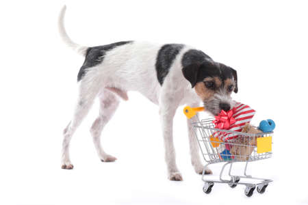 Parson russell terrier takes a gift out of a shopping cart isolated on white