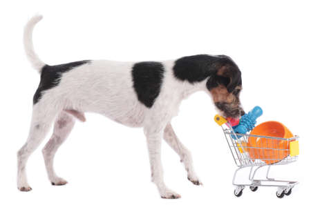 Parson russell terrier dog looking into a small shopping cart with dog toys isolated Stock Photo