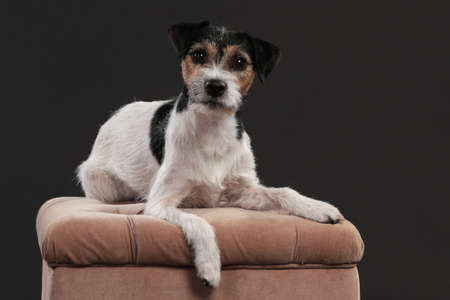 One parson russell terrier dog lying on a brown velvet bench in front of black background